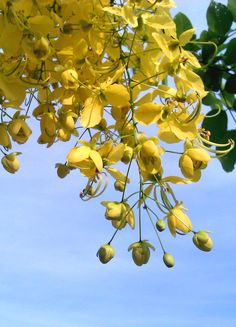 Cassia fistula. Learn more about MS Diet at MSDietForWomen.com