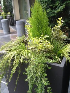 "Container planting with lush green and yellow tones: lemon cypress, lonicera ""lemon beauty,"" euonymus and carex ""aurea."" So elegant."
