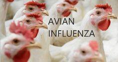 AVIAN INFLUENZA | Bird Flu Facts And Signs |