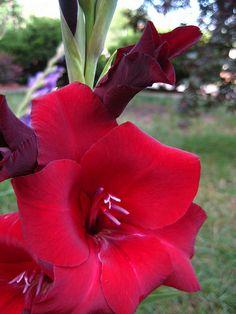 red gladiolus
