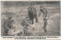 Three Members of the RSPCA now serving with the Army Veterinary Corps on the continent, attending a wounded horse. The War Illustrated 9/1/1915 NAM. 2002-04-219 © Crown copyright