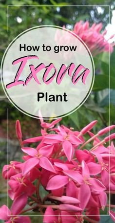 Growing and caring Ixora houseplants | How to grow Ixora plant | Ixora coccinea