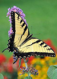 Tiger Swallowtail by Linda Konz