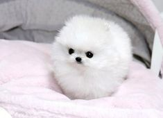 You say it's a snowball but ... is a small and fluffy puppy