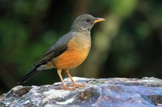 Turdus olivaceus - Olive Thrush -- Sighted: 5/24/2015 Company Gardens, Cape Town, ZA Life List, Robins, Cape Town, Africa, Gardens, Birds, World, Animals, Animales