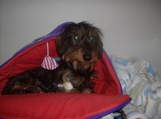This is Miss Maisey, My beloved female mini wire haired dachshund. I will miss her antics forever. North Bay, on.