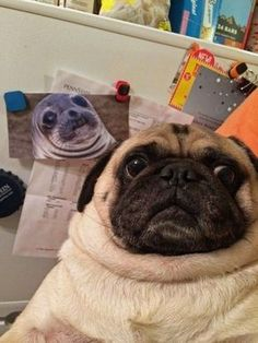 Funny pictures about Pug Takes The Cake. Oh, and cool pics about Pug Takes The Cake. Also, Pug Takes The Cake photos. Pug Meme, Funny Dog Memes, Funny Animal Memes, Funny Animal Pictures, Cute Funny Animals, Dog Pictures, Funny Dogs, Random Pictures, Dog Photos