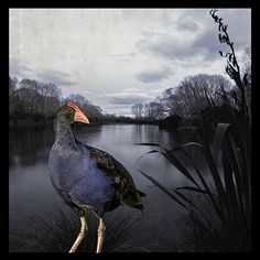 Pukeko Pond by Clive Collins - Matted New Zealand Tui Bird, New Zealand Art, Pet Birds, Birds 2, Wall Art For Sale, Paint Effects, Nature Journal, Beautiful Birds, Bald Eagle