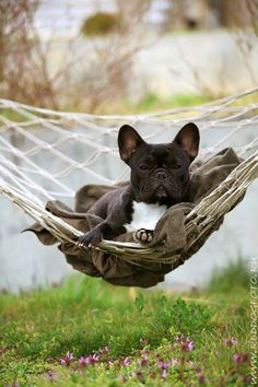 Hammocking Frenchie #french bulldog # rope hammock # http://www.quictents.com/More-Products/59-Cotton-Rope-Double-Hammock-Bed.html