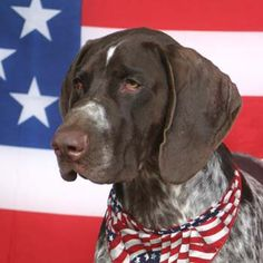 German Shorthaired Pointer Usa 1000+ images about GER...