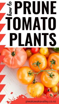 When you plant tomatoes, you want the plants to bear a lot of ripe, fully developed fruit. Here is what you need to know about pruning tomatoes to improve your tomato harvest this Summer.