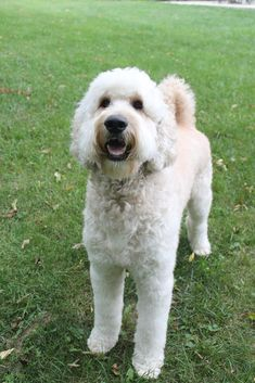 Goldendoodle - well groomed!