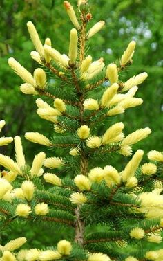 'Golden Feathers' Colorado Spruce..New growth is bright yellow, which lasts about 2wks B4 fading to chartreuse & then green