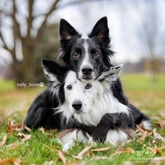 """From @kelly_bove: """"Envy and Zain are two adorable rescue Border Collies that take """"Aww"""" to the next level """" #cutepetclub by: @cutepetclub"""