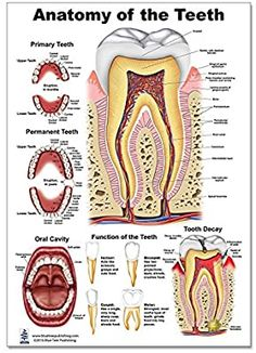 Teeth P Poster, tooth education and anatomy, size Dental Assistant Study, Dental Hygiene School, Medical School, Toddler Tooth Decay, Dental Anatomy, Human Anatomy, Homeschool Worksheets, Homeschooling, Human Body Activities