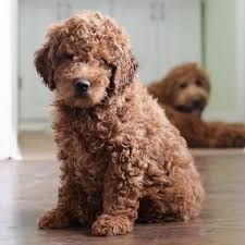95 Best Labradoodle And Goldendoodle Schnoodle Images