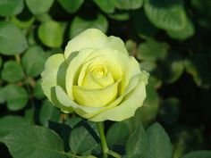 Irish Luck™ - Ludwigs Roses | Also known as St. Patrick High pointed buds open into magnificent exhibition shaped blooms. The novel lime-yellow colour is exceptional. It is at times very intense, at other times and garden situations more of a yellow. It produces big, exhibition quality blooms one to a long strong stem. A very special rose to have.