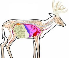 Deer skeletan for bowhunting...