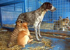 A mother's love crosses categories: Cora, a two-month-old baby tiger with her adoptive mother, a four-year-old dog. Cora, born in a circus, was rejected by her mother. The adoptive mother feeds the baby tiger as it were one of her puppies.