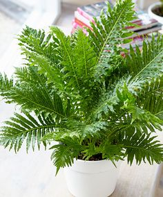 Dwarf Tree Fern 'Silver Lady' | Plants from Bakker Spalding Garden Company dwarf tree fern - for conservatory £13.95