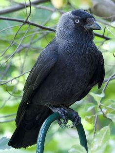 The Western Jackdaw, sometimes known as the Eurasian Jackdaw, European Jackdaw or simply Jackdaw, is a passerine bird in the crow family. Description from pinterest.com. I searched for this on bing.com/images