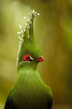 Fashion is yesterday, style is forever.  - Knysna Turaco (Tauraco corythaix), or, in South Africa, Knysna Lourie: