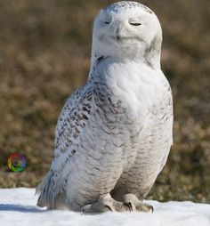 Canadian Geographic Photo Club - Female Snowy Owl Princess