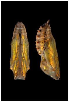 Painted Lady chrysalis by Vanessa Cardui