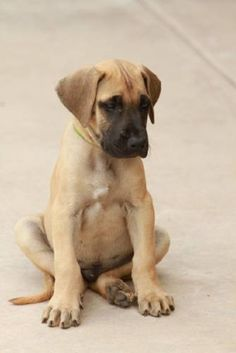 great dane puppy fawn | Zoe Fans Blog