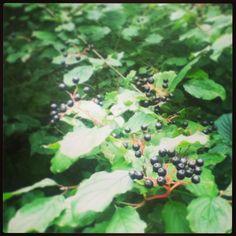 Black berries. Mauritspark De Meern
