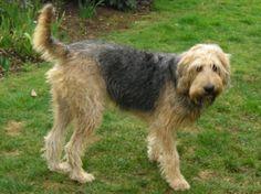 otterhound dog | Otterhound Dog Breed Info Pictures Otterhound Puppies