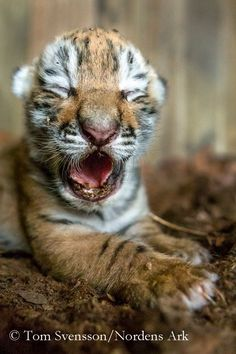 A litter of Amur Tiger cubs was born on April 12 at Sweden'sNordens Ark. The three cubs, two males and a female, were born to mother Honan, who is important to the European breeding program for this critically endangered species. Read more herehttp://bit.ly/15vmJrYand atZooBorns