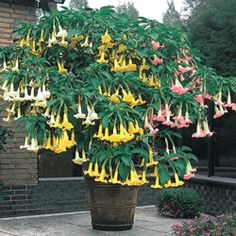 3-in-1 Angel Trumpet is spectacular with its branches layered in white, pink and yellow blossoms from spring through fall. Few container plants are easier to grow or more rewarding. Bring indoors in winter.