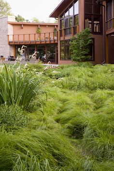 Sedge instead of lawn! From a Jenny Peterson article on Houzz about lawn alternatives
