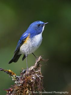 Red-flanked Bluetail (Tarsiger cyanurus) is a small migratory insectivorous species breeding in mixed coniferous forest w/undergrowth in no. Asia and NE Europe.