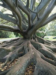 I literally climbed this tree with Jerame! Trunk and Roots of a Tree in Domain Park, Auckland, North Island, New Zealand, Pacific Bonsai, Weird Trees, Unique Trees, Old Trees, Tree Roots, Nature Tree, Nature Nature, Tree Forest, Tree Art