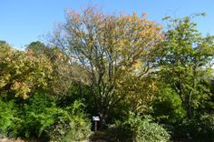 Britain's largest apricot tree in its autumnal glory in St Andrews Botanic Garden.
