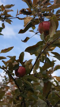 Apple picking at the Orchards of Conklin in Rockland County, NY - photo by Kimberly E. Matusiak