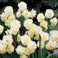 Fragrant Gardenia Daffodil (N. Cheerfulness')