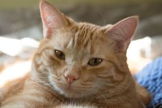 Orange Tabby Cat Kitty Napping Resting Relaxing by RoseClearfield, $10.00