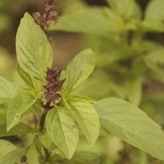 Organic Cinnamon Basil Herb Garden Seeds by cubits on Etsy, $3.75