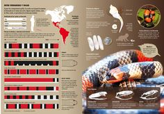 Coral snakes – by Nicolas Ramallo Creative Infographic, Infographics, Snake Party, Coral Snake, Information Graphics, Data Visualization, Journalism, Biology, Evolution