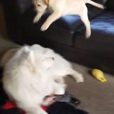 Samoyed, Bear, Dogs, Animals, Instagram, Animales, Animaux, Pet Dogs, Samoyed Dog