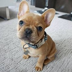 Hello Frenchie :D