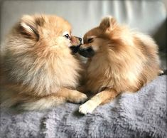 Delightful Comical And Sweet Pomeranian Ideas. Charming Comical And Sweet Pomeranian Ideas. Chihuahua, Pomeranian Puppy, Pomeranian Memes, Cute Puppies, Cute Dogs, Dogs And Puppies, Doggies, Animals And Pets, Baby Animals