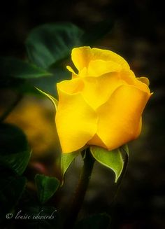 """Flower of the Day - June 26, 2012,""""Yellow Bud"""", Yellow Rose, Portland Rose Gardens, Portland, Oregon. Copyrights belong to the photographer: Louise Edwards."""