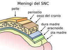 Il sistema nervoso centrale è circondato da tre membrane: dura madre, aracnoide, pia madre. #amicopediatra, #meningi, #meningite