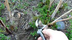 A málna tavaszi metszése érthetően (folyton termő) S02E16