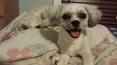 Lost Dog - Maltese - Toronto, ON, Canada M1V 4S4
