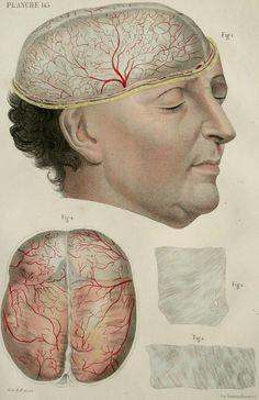 1844. Planche 145. Cerveau humain.